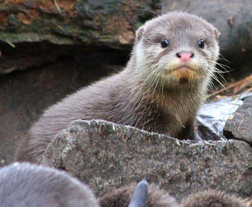 Otter_Pups7_5_10_12