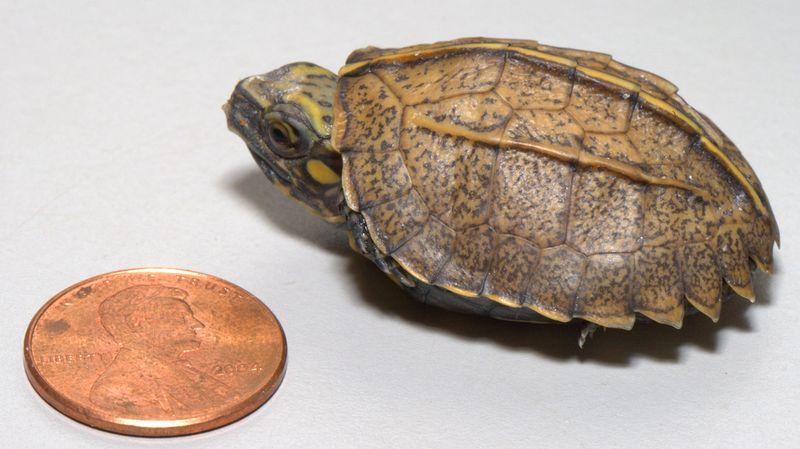 C.mouhotii-10.12-2