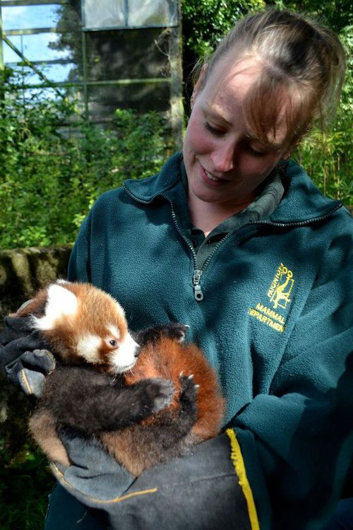 Red-Panda-_-Paignton-Zoo1