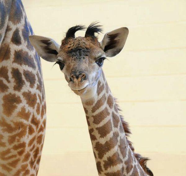 Live Tweet Of Giraffe Birth From Cincinnati Zoo Now Help