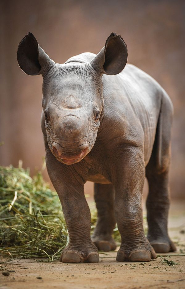 With Only 600 Remaining In The Wild  A Baby Black Rhino