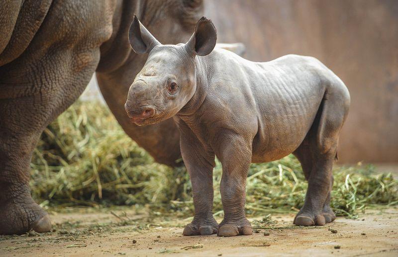 BabyRhino-4
