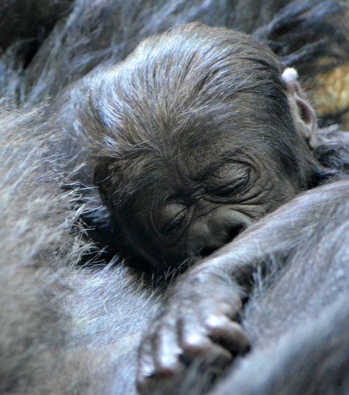 Photos credited to Tony GnauLincoln Park Zoo1