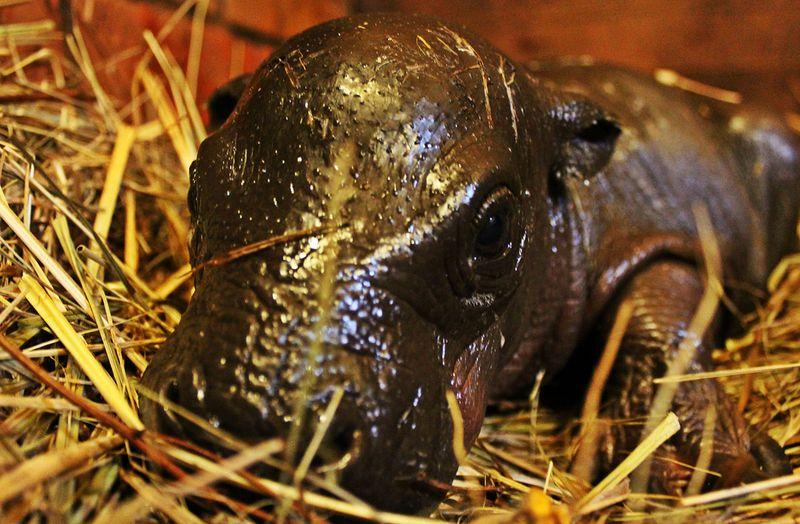 Zoo-Wroclaw-Pygmy-Hippo