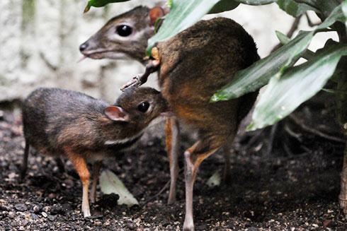 Mouse deer 2