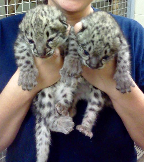 Chattanooga-Zoo-Snow-Leopards