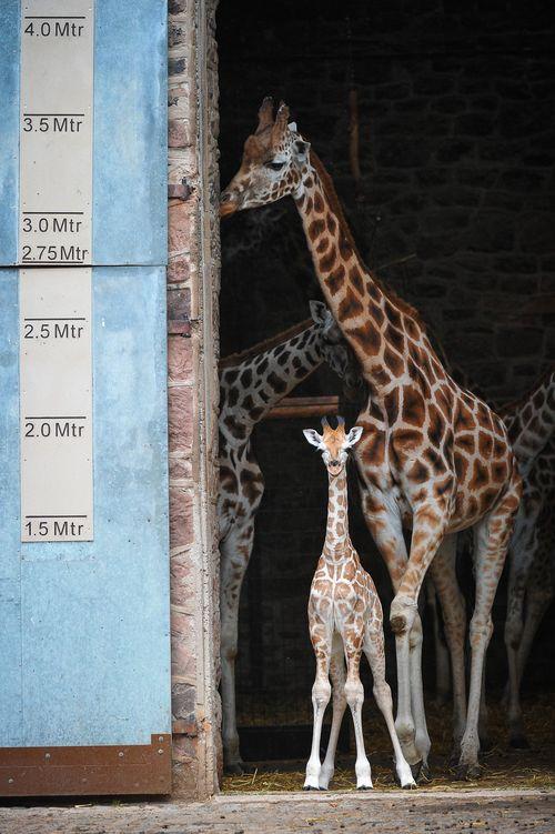 BabyGiraffe-6