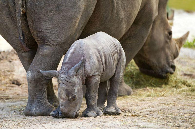 Rhino shy