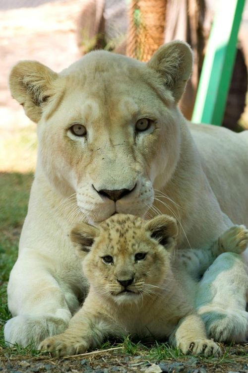 Baby Lion With Mom
