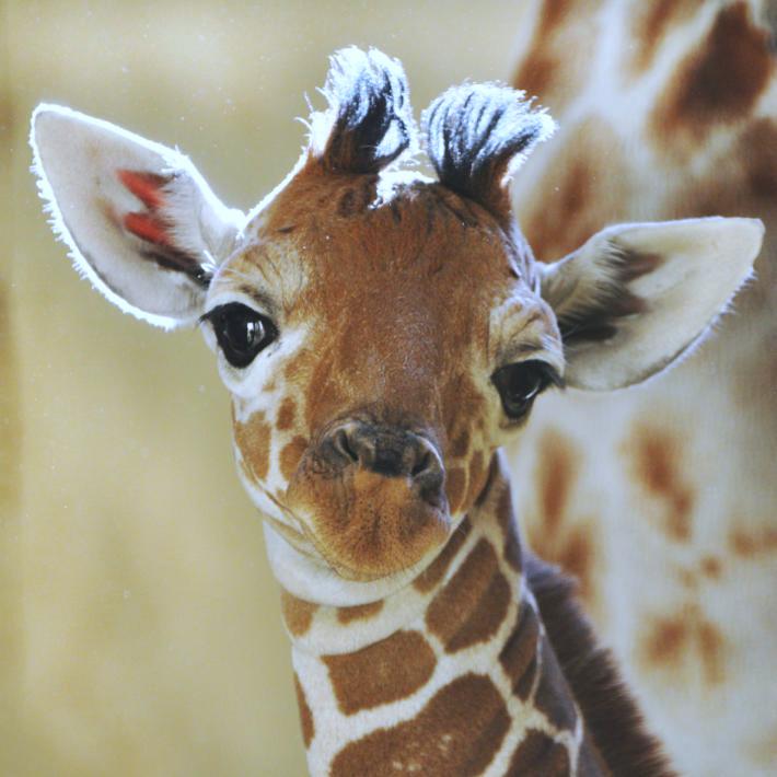 Baby-giraffe-2-12641