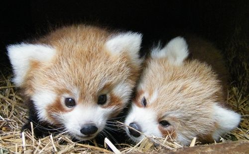 Panda-Cubs-twins-nest-box-4