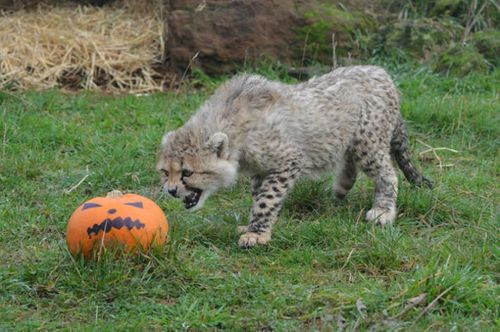 WHipsnade Zoo cheetah cubs growling-at-pumpkin-12676
