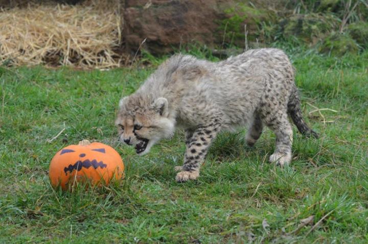 WHipsnade Zoo cheetah cubs growling-at-pumpkin-12676