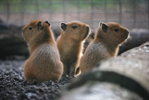 Three baby Capybaras at Chester Zoo