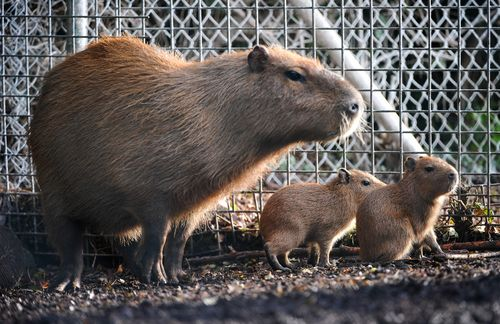 Two baby capybaras with mum