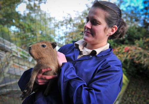 Chester Zoo keeper Helen Massey carries one of three new born baby capybaras to a health check