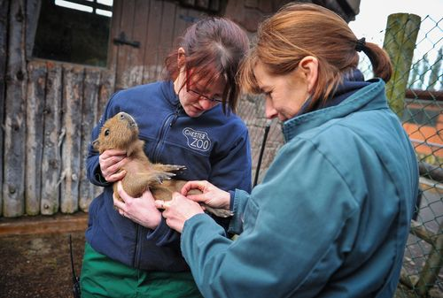 Chester Zoo vet nurses Tanya Grubb_left_and Alison Kelsall_right_carry out a health check on a new born baby capybara