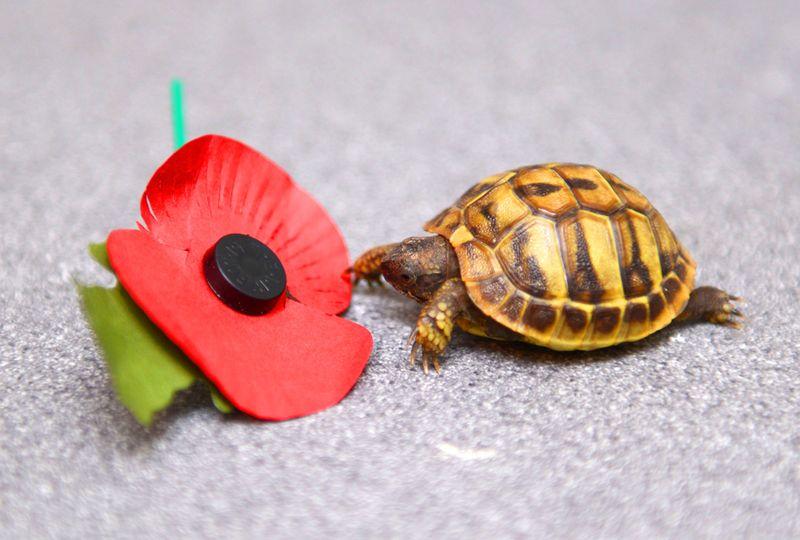 Tank-the-Tortoise-5