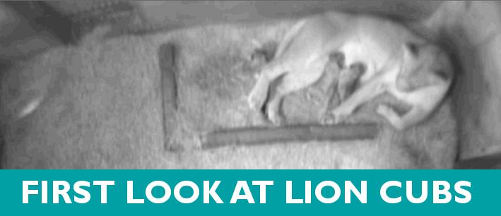 Woodland lion cubs