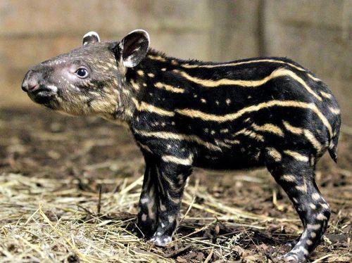 Tapir2