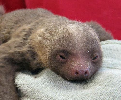 Baby Sloth Hangs out at Pueblo Zoo - ZooBorns