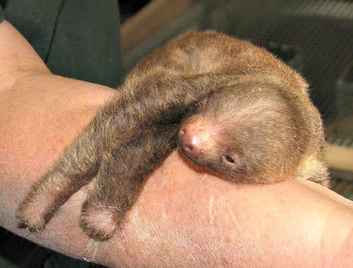 Sloth2 18230_10151088689781744_1161097476_n