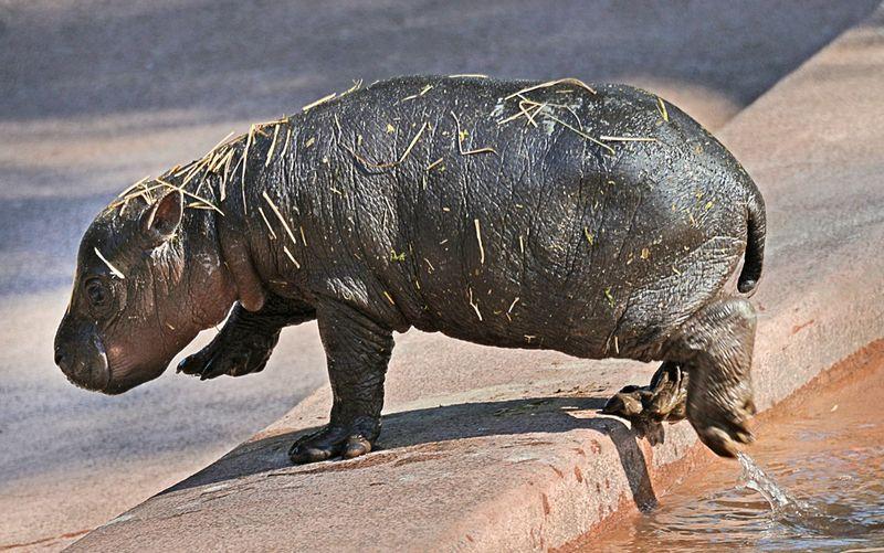TLPZ Pygmy Hippo Born 3