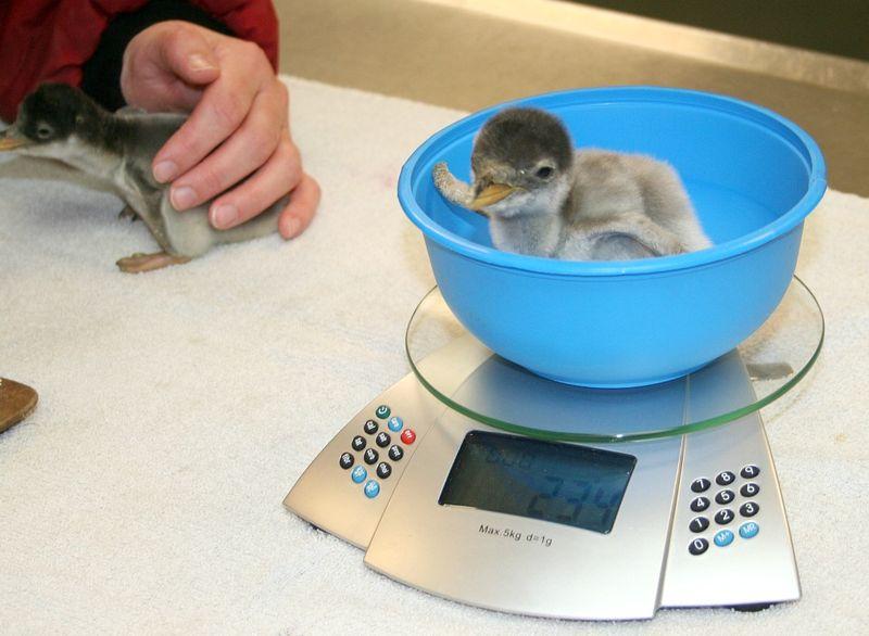 Penguin Wt