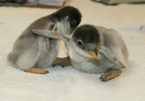 Penguins wing.jpg
