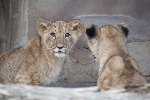 Qatar_lion_cubs01