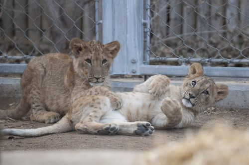 Qatar_lion_cubs02