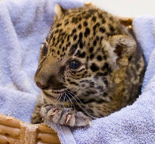 how to draw a baby jaguar