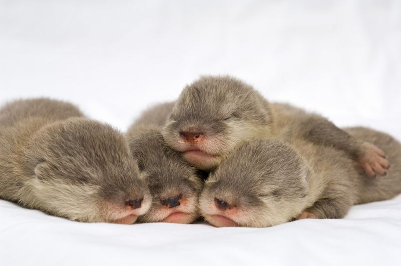 20090327_Baby-Otters_08
