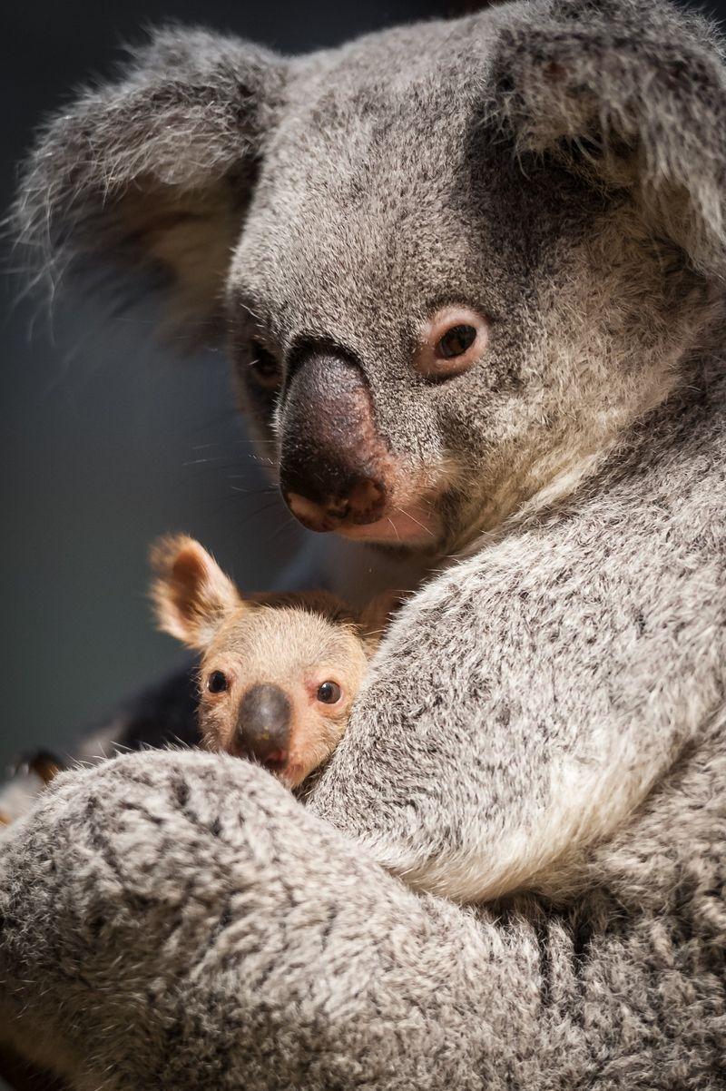 Koal ear