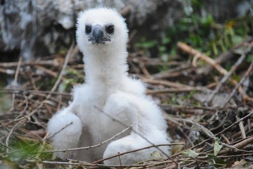 Zoo Miami Harpy Eagle Chick 6