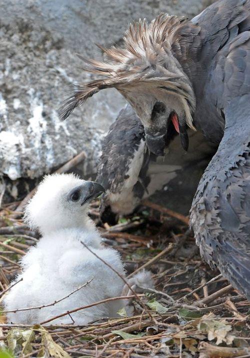 Zoo Miami Harpy Eagle Chick 1