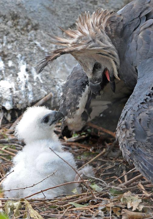 Mom Sneaks In Sons Bedroom: Endangered Harpy Eagle Mom Shares A Sneak Peek Of Her