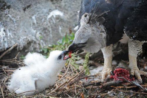 Zoo Miami Harpy Eagle Chick 3