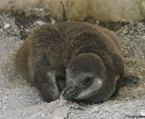 Penguin cu 2