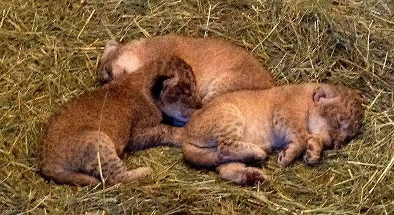 Lion trio