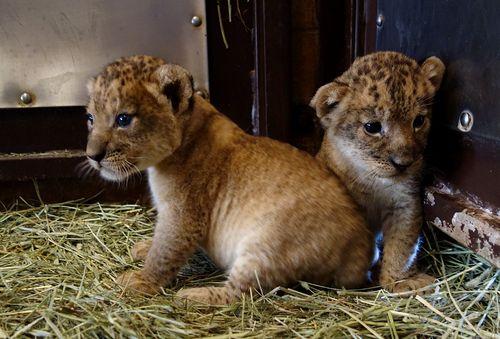 Lion cub corner