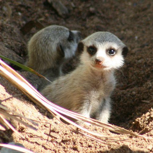 Meerkat-Pups_16.1.13_MQ-(1)