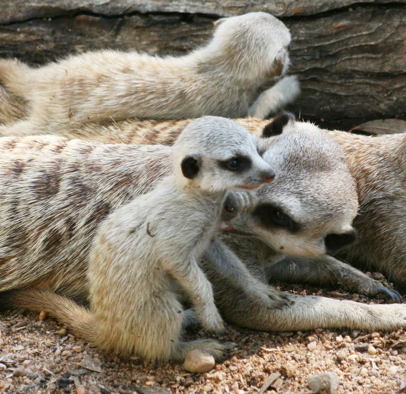 Meerkat-Pups_16.1.13_MQ-(41)