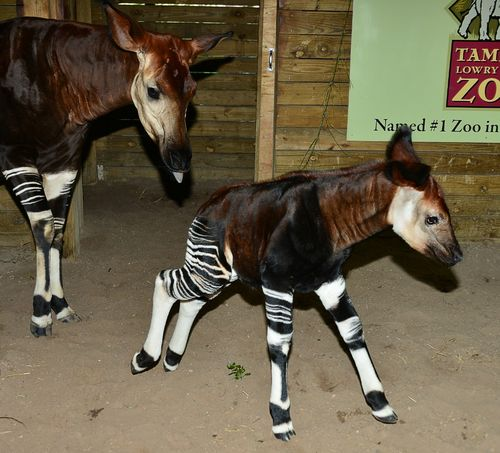 Okapi w mom