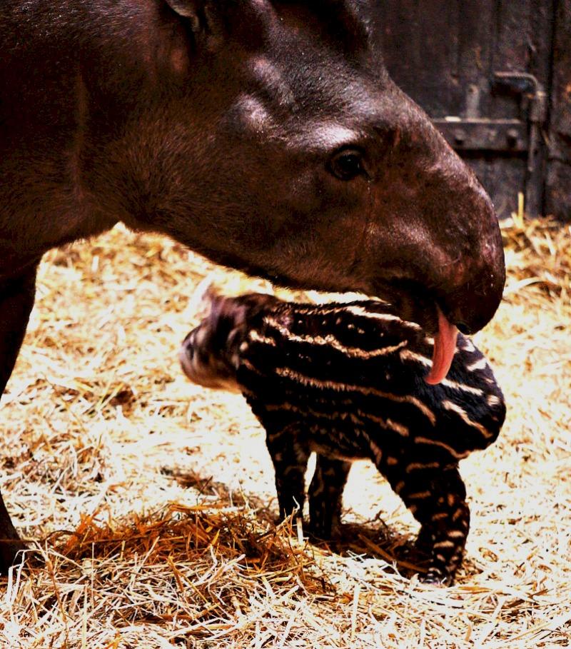 Tapir lick