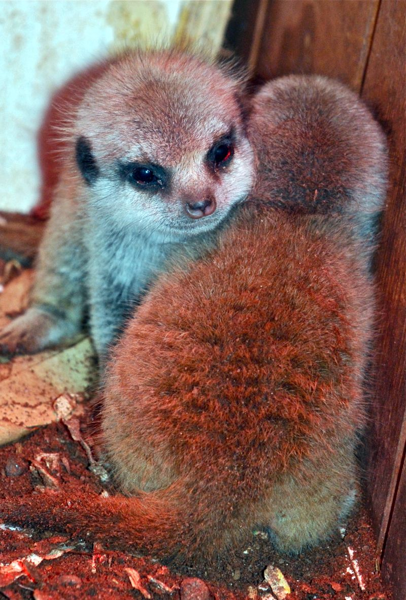 Babymeerkats_haywood (52)a