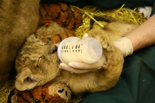 Cub nurse shuteye 1