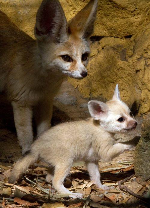 Fox and mom 1