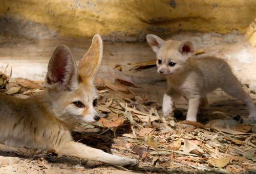 Fox mom 2