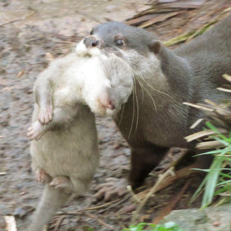 Otter-002